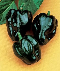 Pepper, Hot Poblano (Ancho) best chile in the world