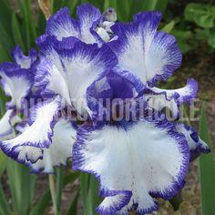 Iris, Photos, Spring, Dimensions, Gardening, Unique, Gardens, Index Cards, Plants
