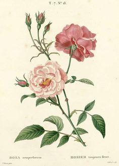 Hi-Res Botanical Etching source ///  Rosa semperflorens Loisel. & Michel / Duhamel du Monceau, H.L., Traité des arbres et arbustes, Nouvelle édition [Nouveau Duhamel], vol. 7: t. 18 (1819) [P. Bessa]