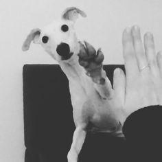 //high five performed by Yōji o(^▽^)o #funnydog #highfive #whippet #ウィペット #whippetboy #whitewhippet #whippetlove #whippetsofinstagram #whippetcorner #whippet_feature #sighthound #windhund #berlin #whitedog #greyhound #greyhoundcorner #greyhoundsofinstagram #cutepetclub #dailydog #instadog #ohmydogmag #ruffpost #dogsofinstagram #dogsofinstaworld #doglookbook #bestdog #houndandlife #thestatelyhound #weeklyfluff #doggosdoingthings