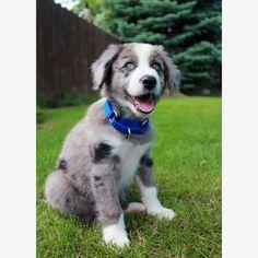 Pastor Australiano #puppy #dogs