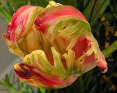 Feed me, Seymour (Tulipa sp.)  My, what big jaws you have! (It's the snaky curve of the horizontal stem that gives it that extra-predatory feeling.)  This is the same kind of parrot tulip (Tulipa sp.) as the one in the first comment below; the pink and green stripes on the outside of the petals give no hint at the flaming red and yellow within. It's like two flowers in one, unique and beautiful both ways. People can go nuts about tulips, and I'm starting to see why.