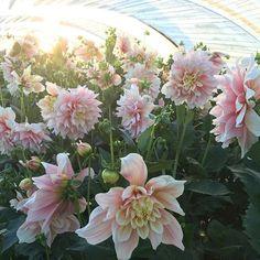 Dahlia 'Breakout' in all her glory 🙌🏼 #growfloret #floretbulbs