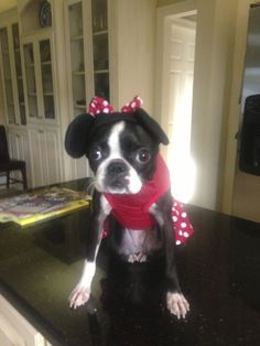 Boston Terrier Costume - Minnie Mouse
