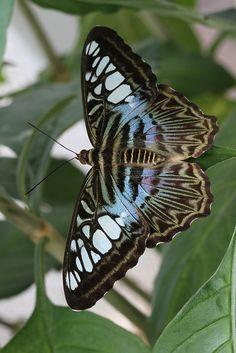 Blauer Segler (Parthenos sylvia)