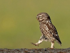 Walking owl...looks somewhat like me when I am board