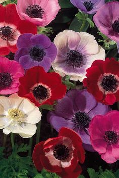 Anemone 'Mona Lisa Mixed'