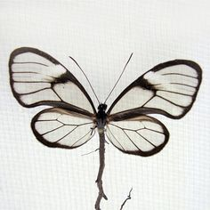 Artist Anne ten Donkelaar heals damaged butterflies by giving them new wings made of a variety of materials including gold, old maps, roots, threads and em