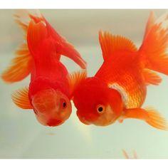"""【goldfish_angel33】さんのInstagramをピンしています。 《""""Twins"""" Oranda from Iida.Nagano おはようございます☀おそらく同じ腹の兄弟。 2匹だけで入れているので、寂しいのかべったりの二人。どちらかが一方を追いかけているわけでもなく相互につっつきあっています まだ人慣れはしていませんがこれはこれでとても見ていて癒されます 亡くした2匹の分まで今いる子を可愛がってあげて下さい、それが2匹にとっても幸せですとコメントをいただき、そうだなぁと思います たくさんの優しいコメントをいただきありがとうございました #金魚 #水槽 #アクアリウム #goldfish #goldfishunion #goldfishtank #aquarium #goldfishofinstagram #watertank #goldfishlover #instagoldfish #goldfishinstagram #goldfishjunkie #fancygoldfish #goldfishcommunity #goldfishkeepers…"""