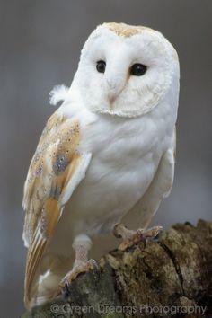 Barn Owl / Kerkuil                                                                                                                                                      Mehr