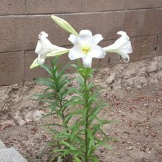 My Easter Lillies