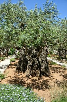 *ISRAEL ~ Olive Trees in the Garden of Gethsemane ~ Jerusalem, Voyage Israel, Beautiful World, Beautiful Places, Heiliges Land, Terra Santa, Naher Osten, Crucifixion Of Jesus, Israel Travel, Jolie Photo