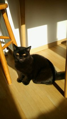 It was yummy - british shorthair black boy Ylandoki UnderleyHall*PL almost one year old (neutered at 4 months of age)