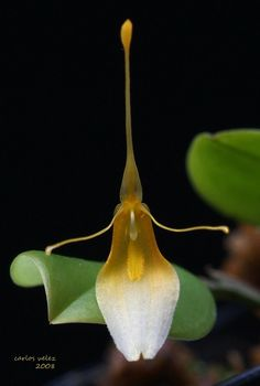 Miniature-orchid / Micro-orquidea: Restrepia dodsonii Xanthinoides - Flickr - Photo Sharing!