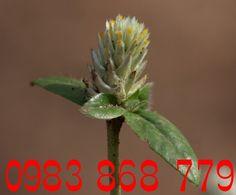 Toàn Quốc - Cây Nở ngày đất l Thần dược chữa Gout trong 7 ngày http://caynongaydat.vn http://caychumngay.com http://caychumngay.com.vn http://caychumngayvn.com