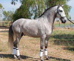 Lusitano stallion Basilico Junho - Beautiful