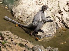 """A Miller's grizzled langur pauses while drinking water from a mineral spring, or sepan, in 2011. Feared extinct, the monkey species has been """"rediscovered"""" on the Indonesian island of Borneo, a new study says."""