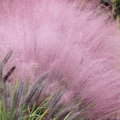 Today it's all about one of my favorite Fall show stoppers — Pink Muhly Grass (Muhlenbergia capillaries.)  It reaches about 4'x3′, with a nicely cascading, fountainous habit of cloud-like foliage.  It also has  billowy and profuse blooms.  Pink Muhly is a North American native, and looks great en masse in a sunny garden border with hot-pink Knock Out Roses, or as a companion to fall blooming Sedum 'Autumn Joy.'   Pink Muhly Grass is drought tolerant.