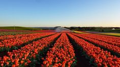 Milano come l'Olanda: arriva Tulipani Italiani, il primo campo u-pick di fiori in Italia. Sorge alle porte di Milano e promette di diventare un luogo felice