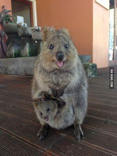 Quokka, does not look real!!!