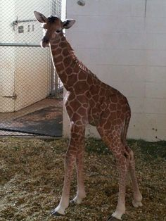 Slideshow: New giraffe born at Cheyenne Mountain Zoo | KDVR.com | Denver Breaking News, Weather & Sports – FOX 31 News in Denver, Colorado