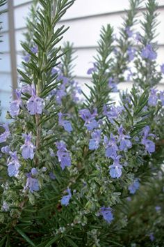 Rosemary 'Tuscan Blue', planted under fruit trees and planters.