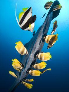 Butterflyfish and moorish idols clean the caudal fin of an ocean sunfish or mola mola--- mutual symbiosis :)