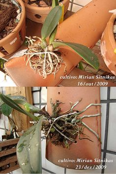 On The Net Landscape Design And Style - The New On-line Tool That Designers Are Flocking To For Landscape Designs An Orqudea - Mrio A G Leal :: Exibir Tpico - Pau-De-Barro Orchid Planters, Orchid Pot, Orchids Garden, Cool Plants, Air Plants, Unique Flowers, Beautiful Flowers, Growing Orchids, Orchid Arrangements