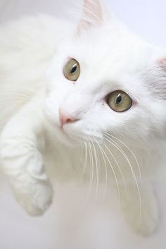 What a beauty! Kittens And Puppies, Baby Kittens, Cats And Kittens, Pretty Cats, Beautiful Cats, Crazy Cat Lady, Crazy Cats, Gatos Cool, Kitten Photos