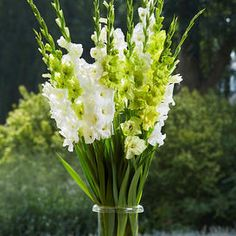 Gladiolus Bulbs   Buy Flower Bulbs In Bulk & Save Spring Flowering Bulbs, Spring Plants, Spring Blooms, Spring Flowers, Gladiolus Bulbs, Gladiolus Flower, Tall Flowers, Colorful Flowers, Planting Bulbs