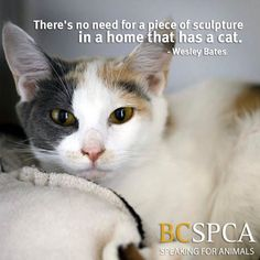 Wishing you a beautiful #Caturday.  The lovely Addison is waiting to add her presence to a forever home. Find her at the BC SPCA Shuswap Branch