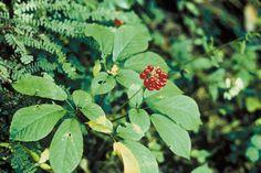 How to Grow Ginseng -- via wikiHow.com