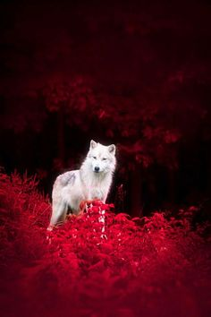 white wolf and red