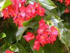 Red Dragon Wing Begonias (very showy) for upstairs flower boxes on the North side of the house. Colorful Flowers, Beautiful Flowers, Flower Colors, Shade Plants Container, Shade Annuals, Tissue Paper Flowers, Annual Flowers, Dragons, Roses