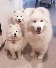 "2,162 Likes, 85 Comments - Snerzok Samoyeds (@kobe_kiara) on Instagram: ""• Smol floof, medium floof and large floof ❤"""