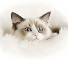 ragdoll-cat25