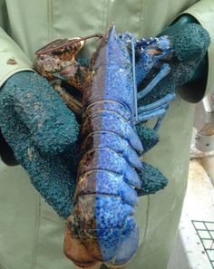1 out of every 50-100 million lobsters has split coloring. One side is typically a dark brown, while the other side is blue, orange, or red. These individuals usually exhibit traits of both males and females.