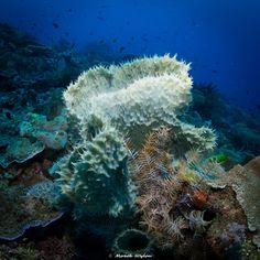Sponges | Papua | 2016.05.02  Title: Sponges Location: Papua Camera: NIKON D800E Lens: Sigma 15mm F2.8 EX Diagonal Fisheye Settings: 1/80 f/13 ISO800 Housing: Subal ND800 Strobes: 2 x INON Z240  http://marek.wylon.com