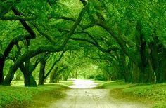 I want a driveway like this.  Orrin Plantation, NC
