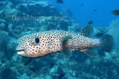 mal-u132: Black spotted porcupine pufferfish (Diodon hystrix) hovering above the reef in the blue,   Temple of the sea, Pulau Perhentian, South China sea, Penninsular Malaysia, Asia - (c) Travel-Images.com - Stock Photography agency - Image Bank