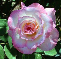 Lovely Rose -  Hybrid Tea Secret. I'd like to try this one.