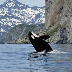 There are many types of whales found in Alaskan waters including the orca (or killer whale) pictured here. The best time of year to see orca calves is in May Otaru, Orcas, Lofoten, Beautiful Creatures, Animals Beautiful, Canadian Wildlife, Whale Watching Tours, Killer Whales, Sea World