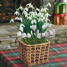 This product is no longer available, however click the image to see this year's Bulb Garden Gift Plants!