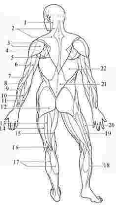Help With The Muscular System For Students of Anatomy and Physiology Skeletal And Muscular System, Muscular System Anatomy, Skeletal Muscle, Human Body Muscles, Human Muscle Anatomy, Yoga Anatomy, Anatomy Study, Anatomy And Physiology Quiz, Apologia Anatomy