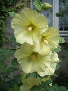 Hollyhock (Alcea rugosa)