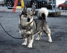 corgi husky mix puppies for sale in missouri - Google Search