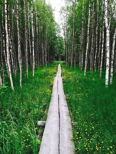 Duckboards leading through the birch woods by Heli Kaverinen, Lieksa, Finland