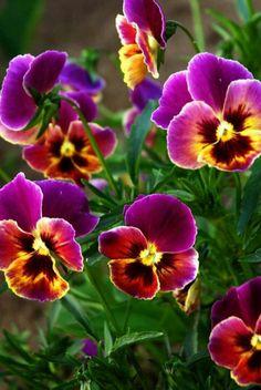 FLOWERS. MAY BE PANSIES.