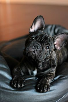The major breeds of bulldogs are English bulldog, American bulldog, and French bulldog. The bulldog has a broad shoulder which matches with the head. Brindle French Bulldog, French Bulldog Blue, French Bulldog Puppies, French Bulldog Pictures, Cute Puppies, Cute Dogs, Dogs And Puppies, Toy Dogs, Doggies