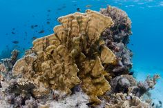 Bonaire Reef - Fire Coral